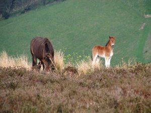600_Exmoor Pony foal 4©jasonpball