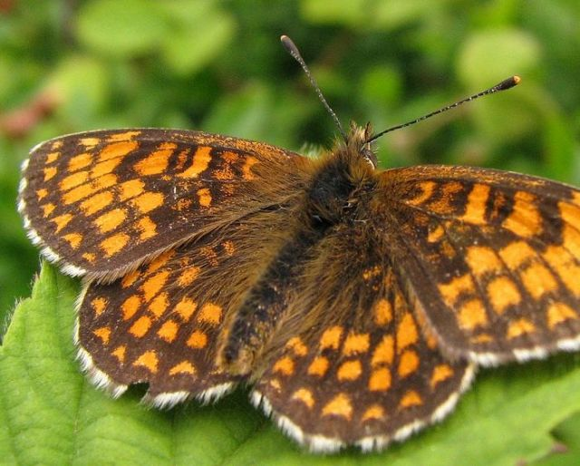 Heath Fritillary (click to enlarge)  photo by Jason Ball
