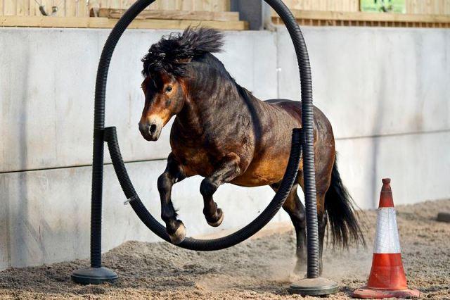 'Bear' the Exmoor Pony