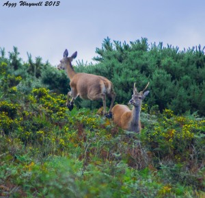 A playful red deer doe and young stag, seen and photographed by Aggz Waywell on North Hill.