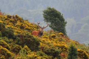 An impressive red deer stag, photographed on North Hill by Aggz Waywell.