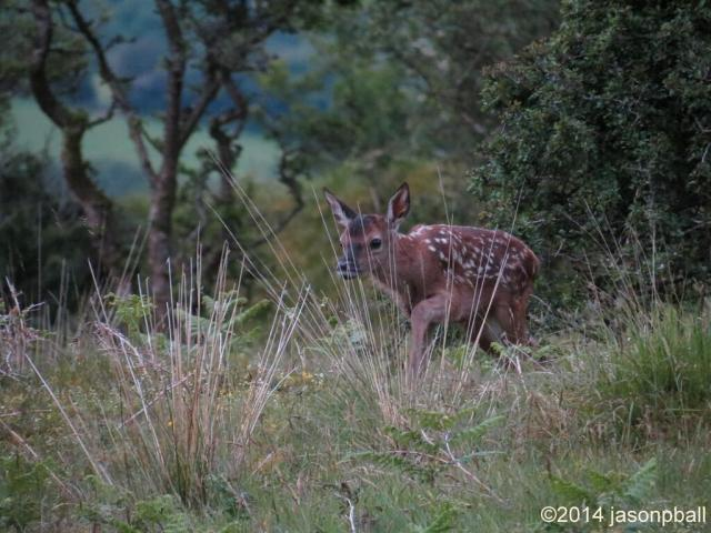 a Red Deer calf quietly going to hide in tall grass