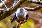 Highly Commended - Chris Triggs - Cuckoo Stare