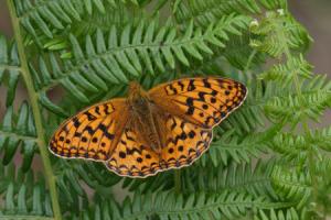 High brown fritillary butterfly (Argynnis adippe) on a fern, Cumbria, UK