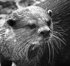 Otter by David Merrigan via Flickr
