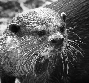 Otter by David Merrigan via Flickr