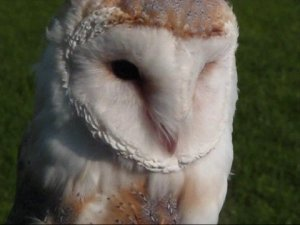 barnowl-face-©2008jasonpball